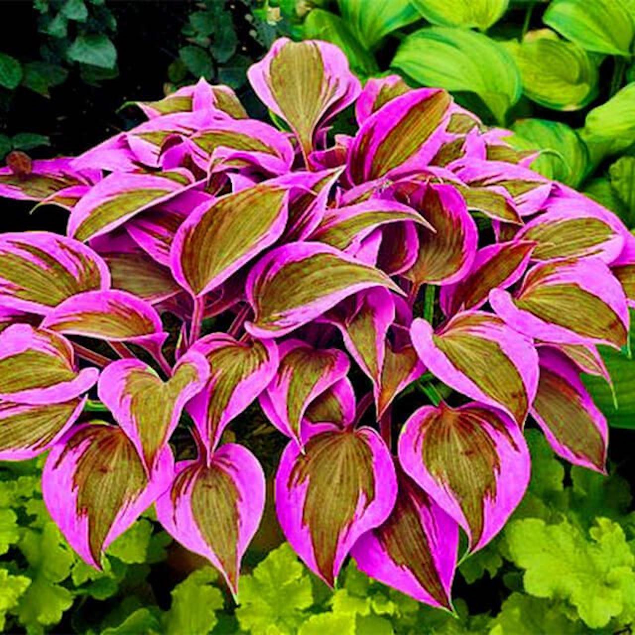 Hosta with photoshopped pink foliage.