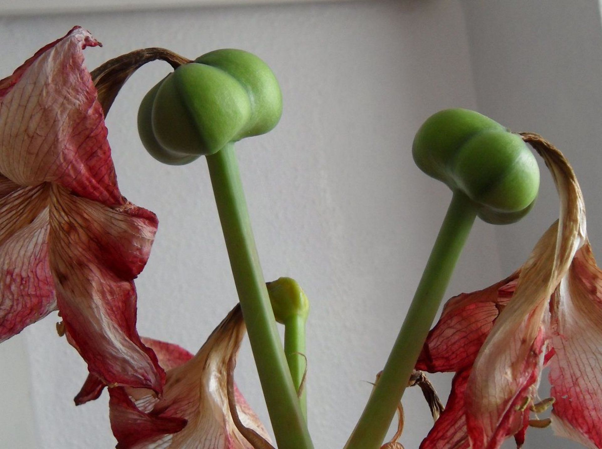 Green capsules forming on an amaryllis.