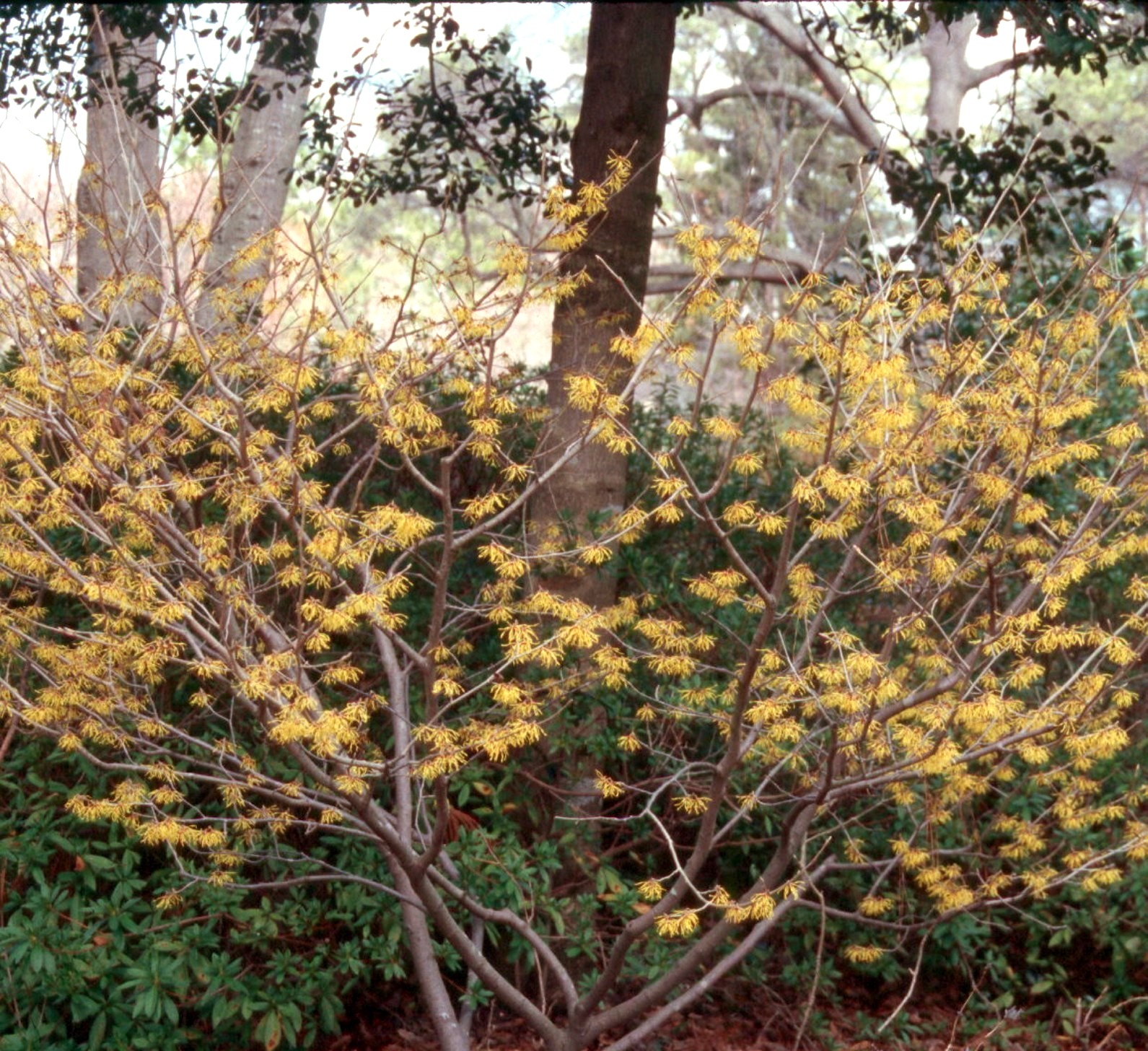 American witch-hazel in bloom in fall, yellow flowers.