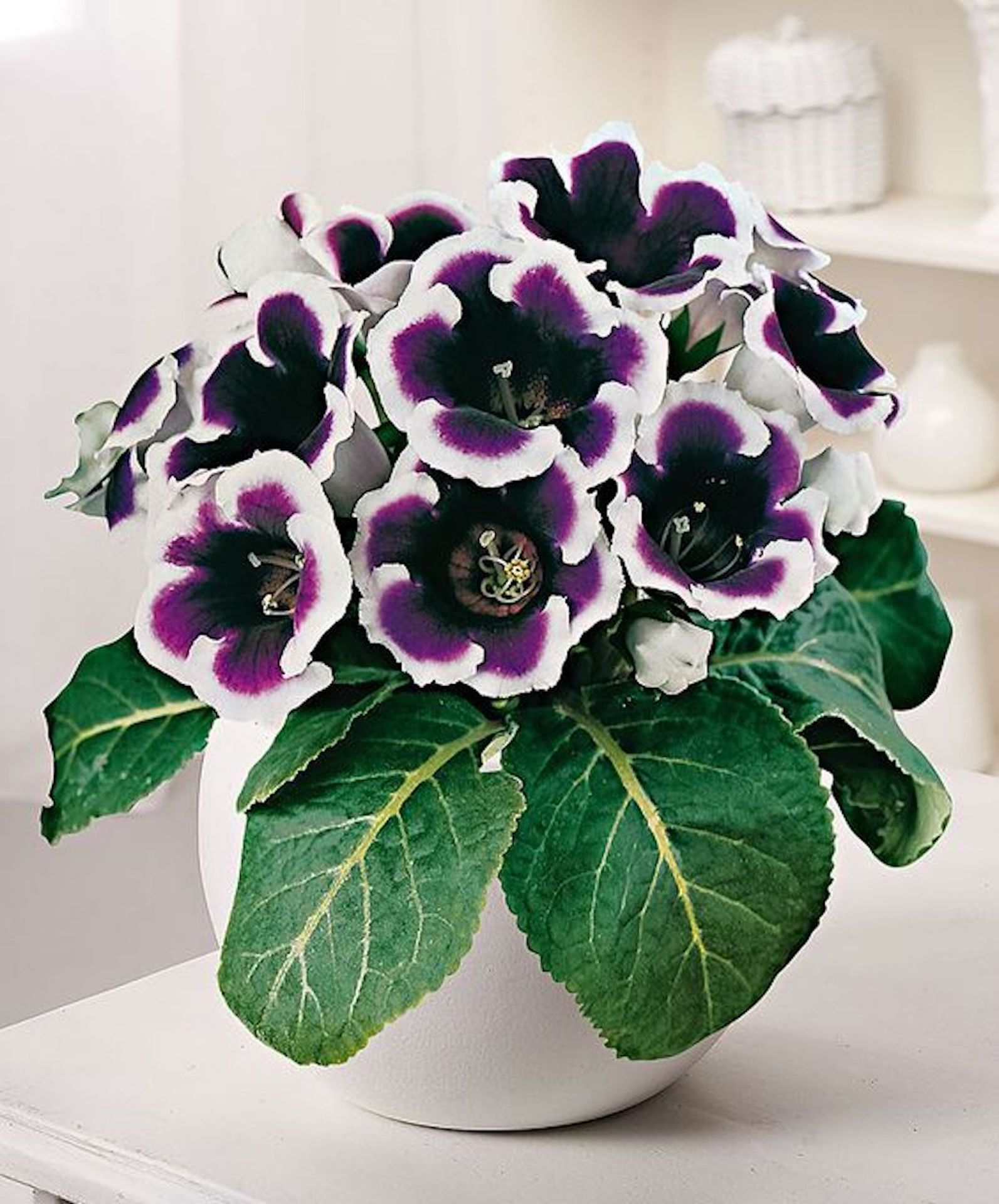 Florist's gloxinia 'Kaiser Wilhelm'