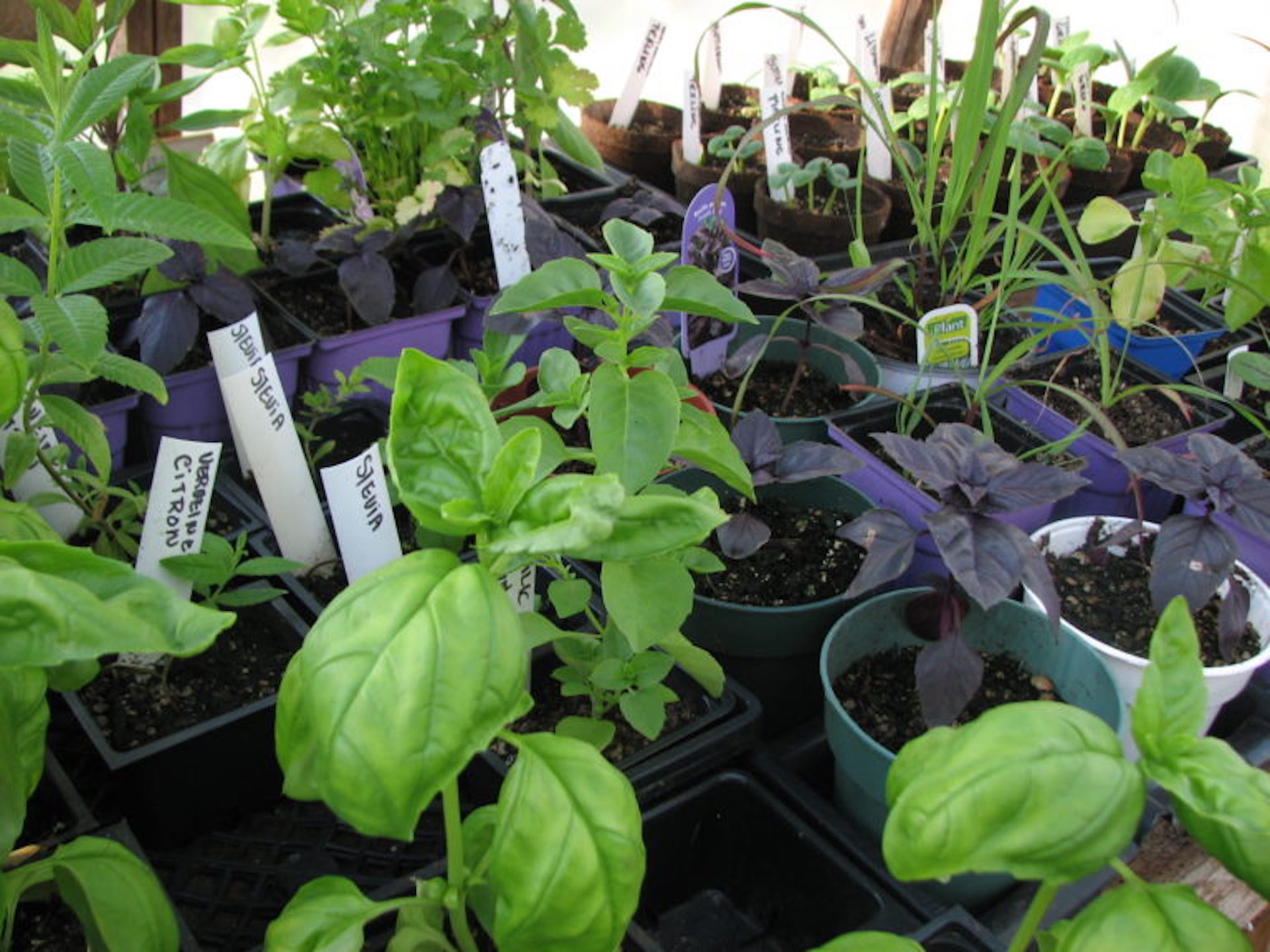 Herb seedlings in a cell tray