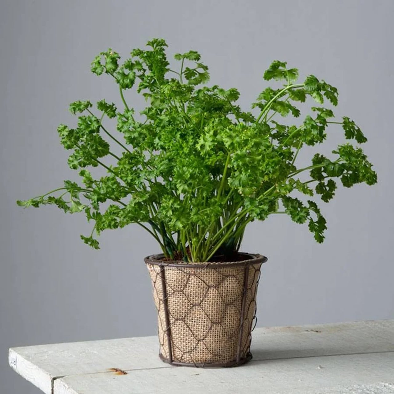 Curly parsley in a textured pot.