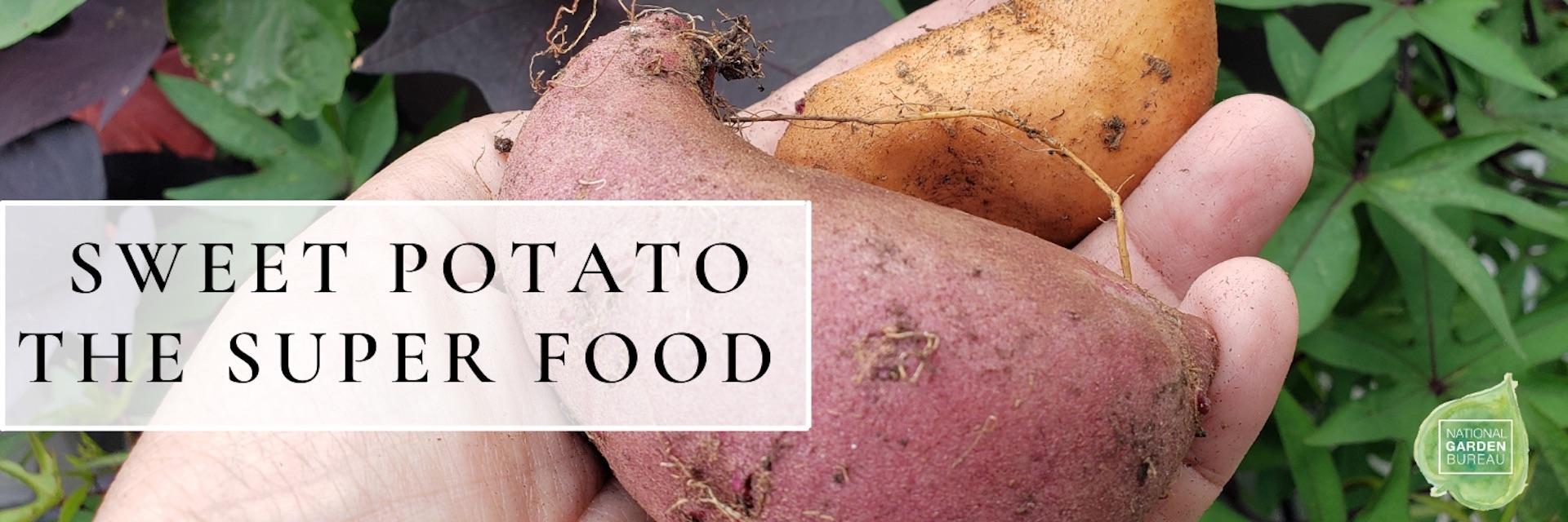 Sweet potato tuber