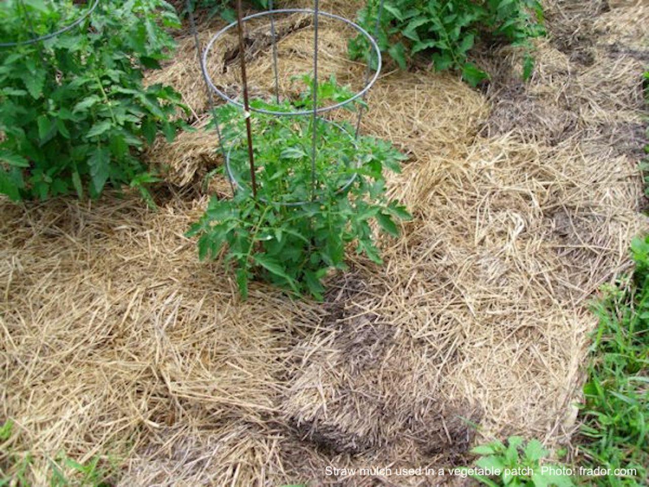 Straw mulch in a vegetable garden.