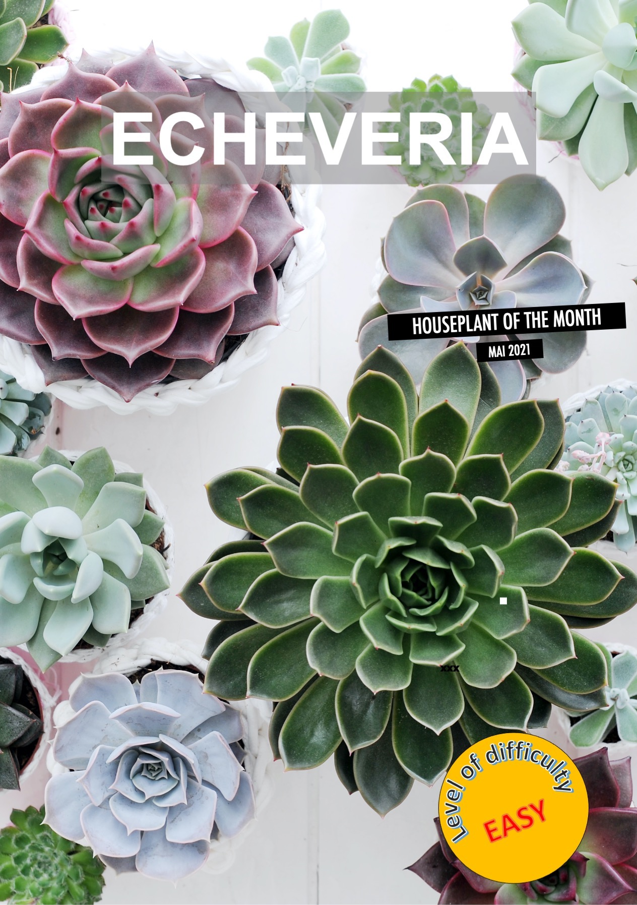 Collection of various echeverias of different sizes and colors.