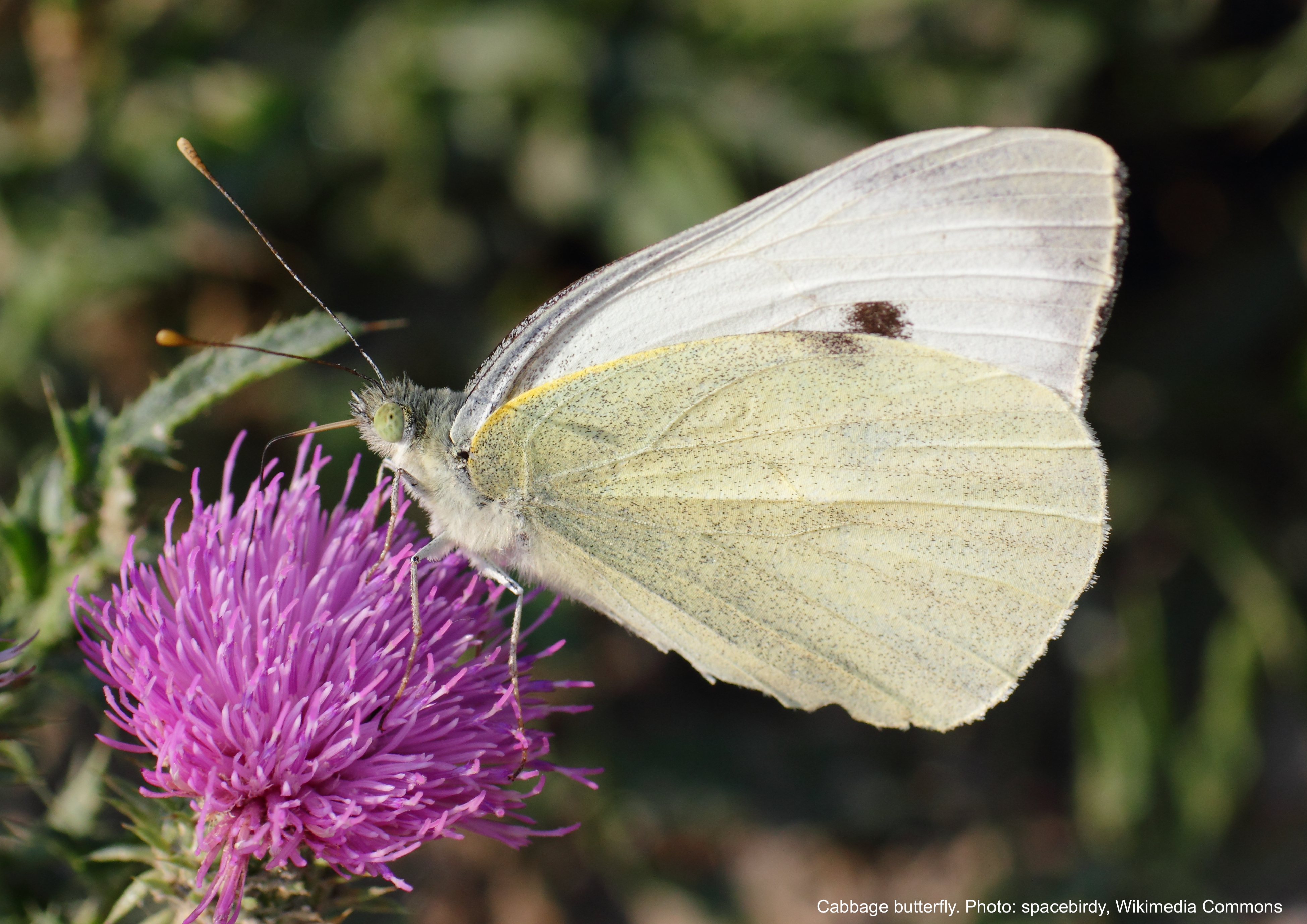 Cabbage butterfly with white wings and black spot.