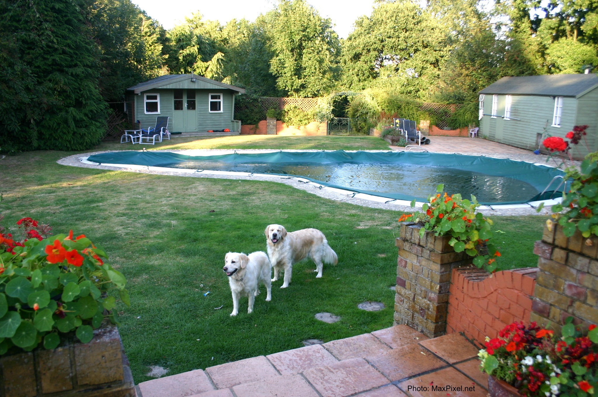 Backyard pool with 2 dogs looking on.