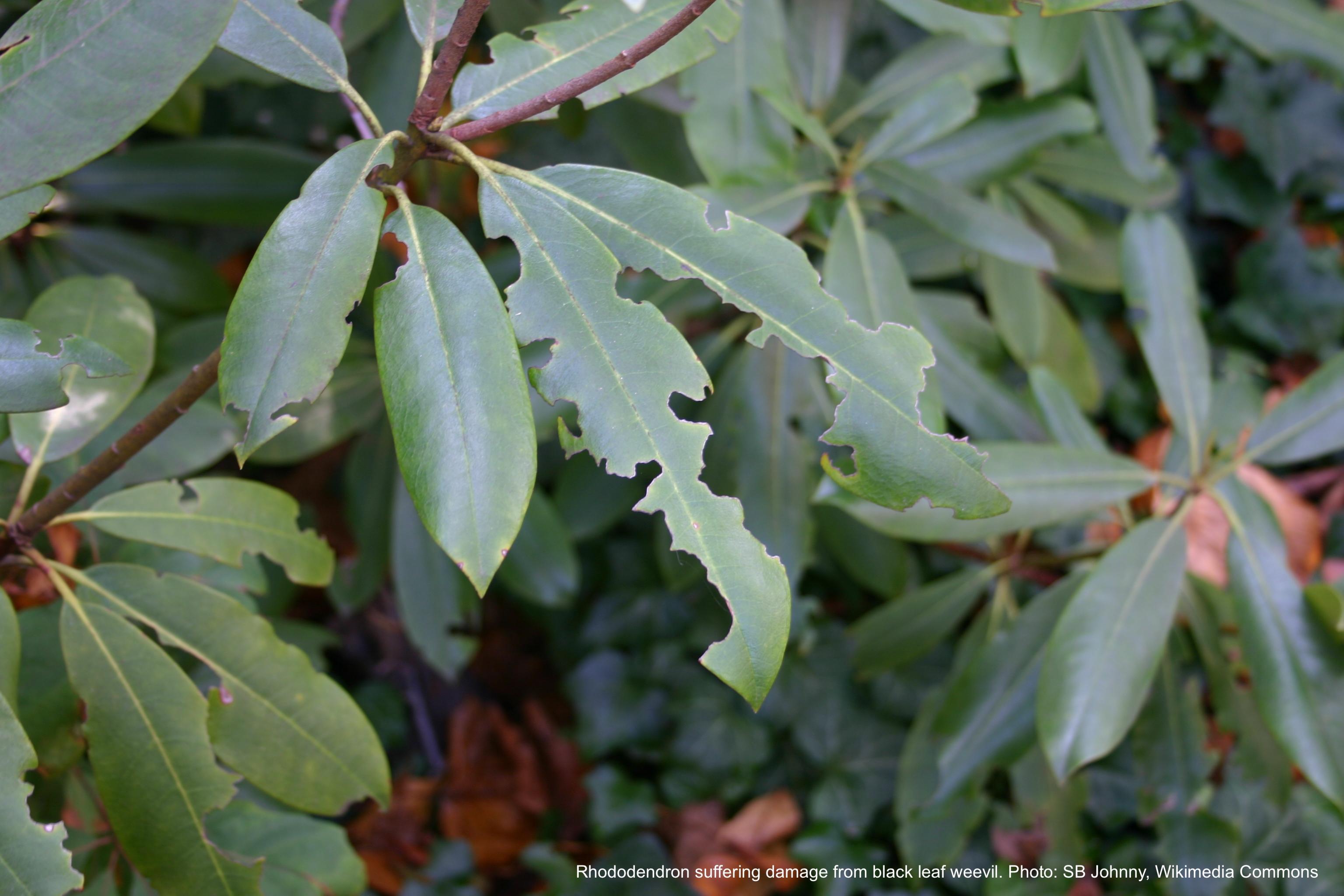 Rhododendron leaves showing black vine weevil damage.