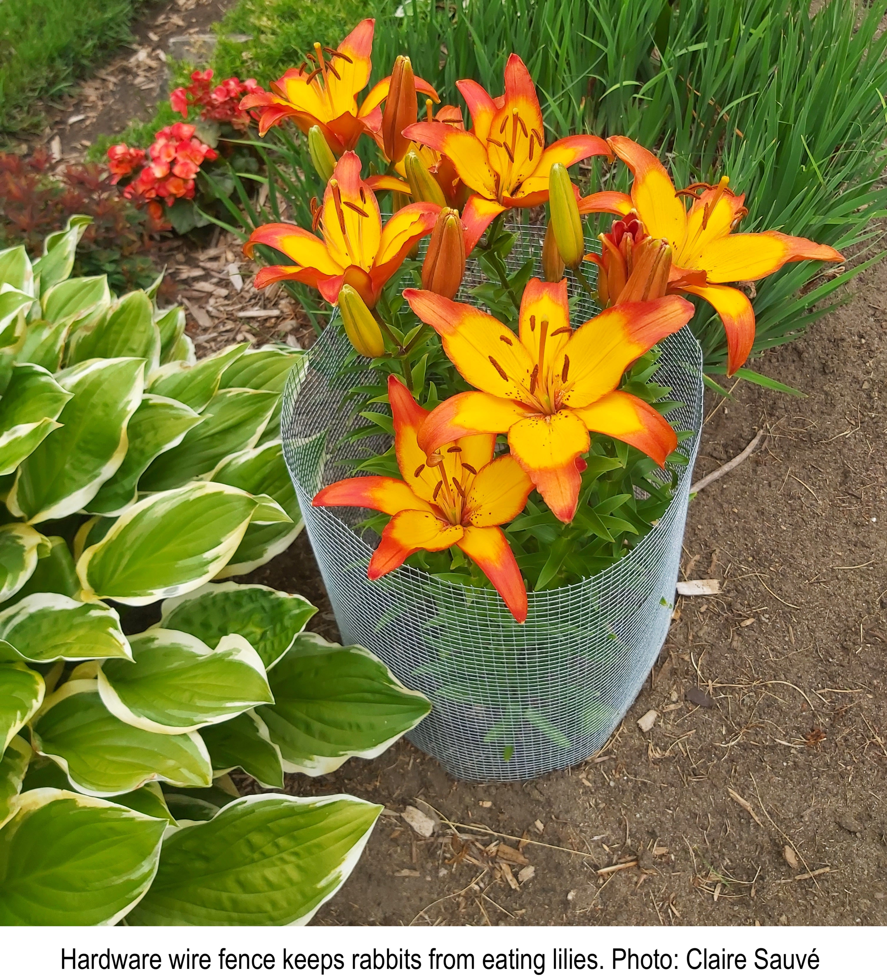 Hardware wire fence surrounding lilies.