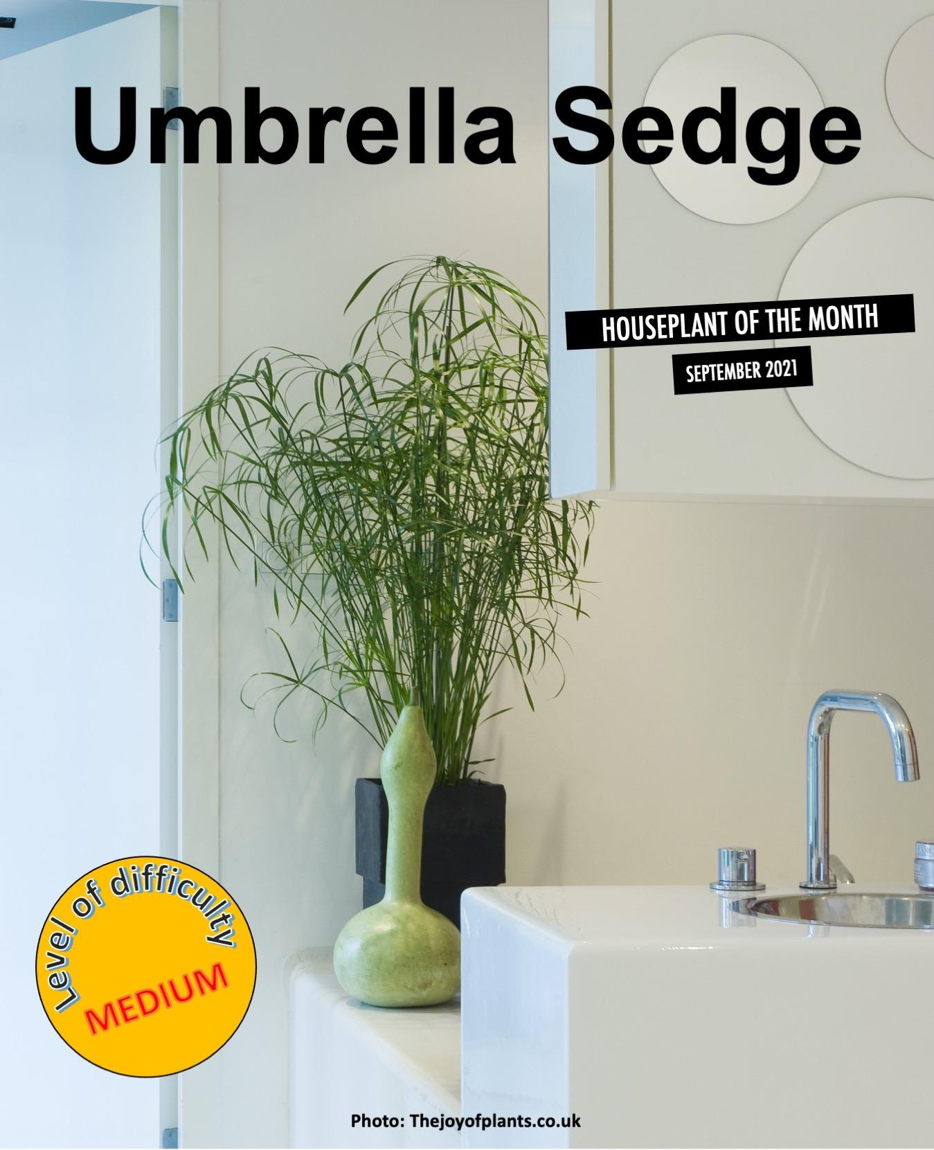 Umbrella sedge in white decor