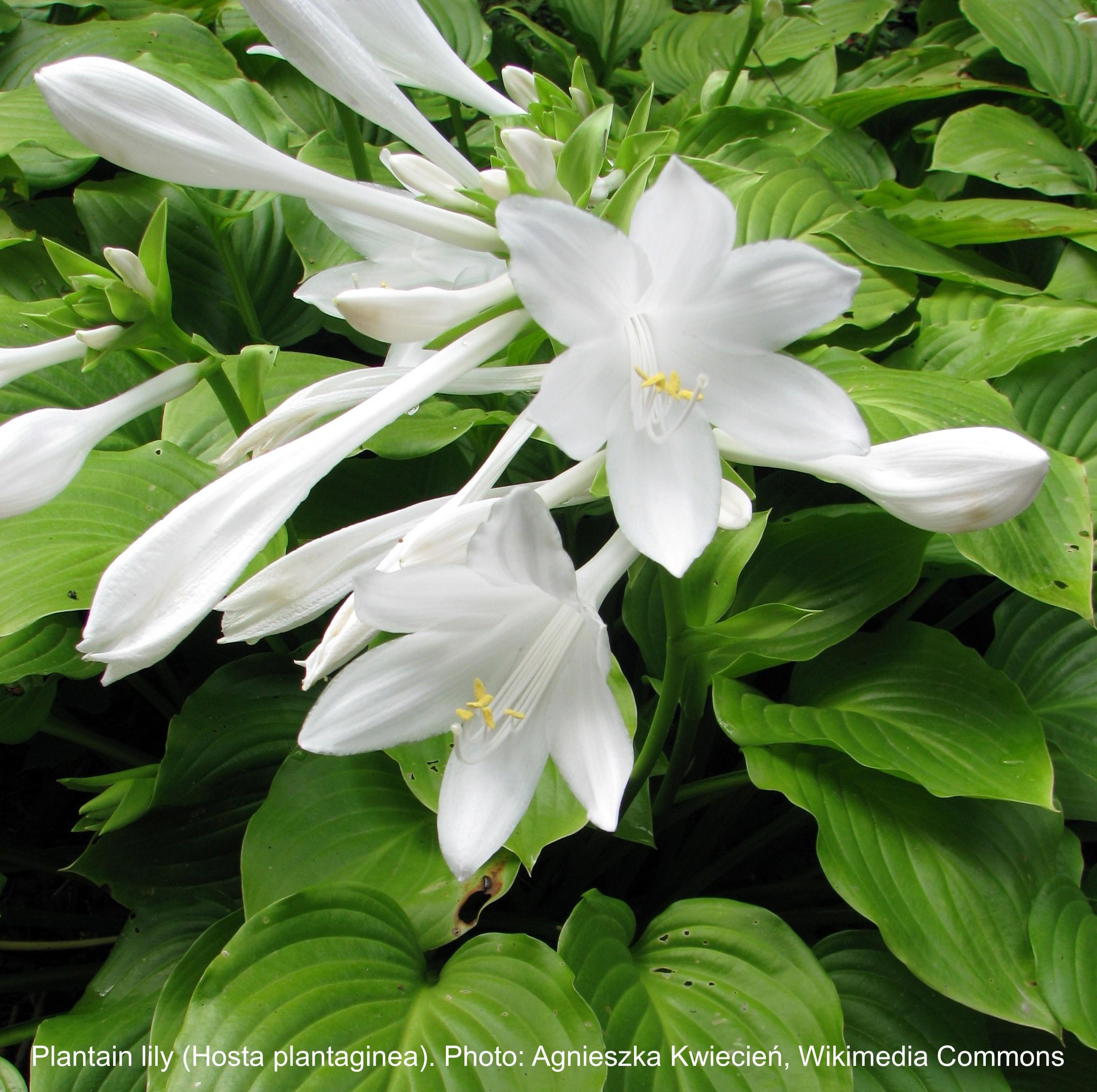 Plantain hosta with big white flowers.