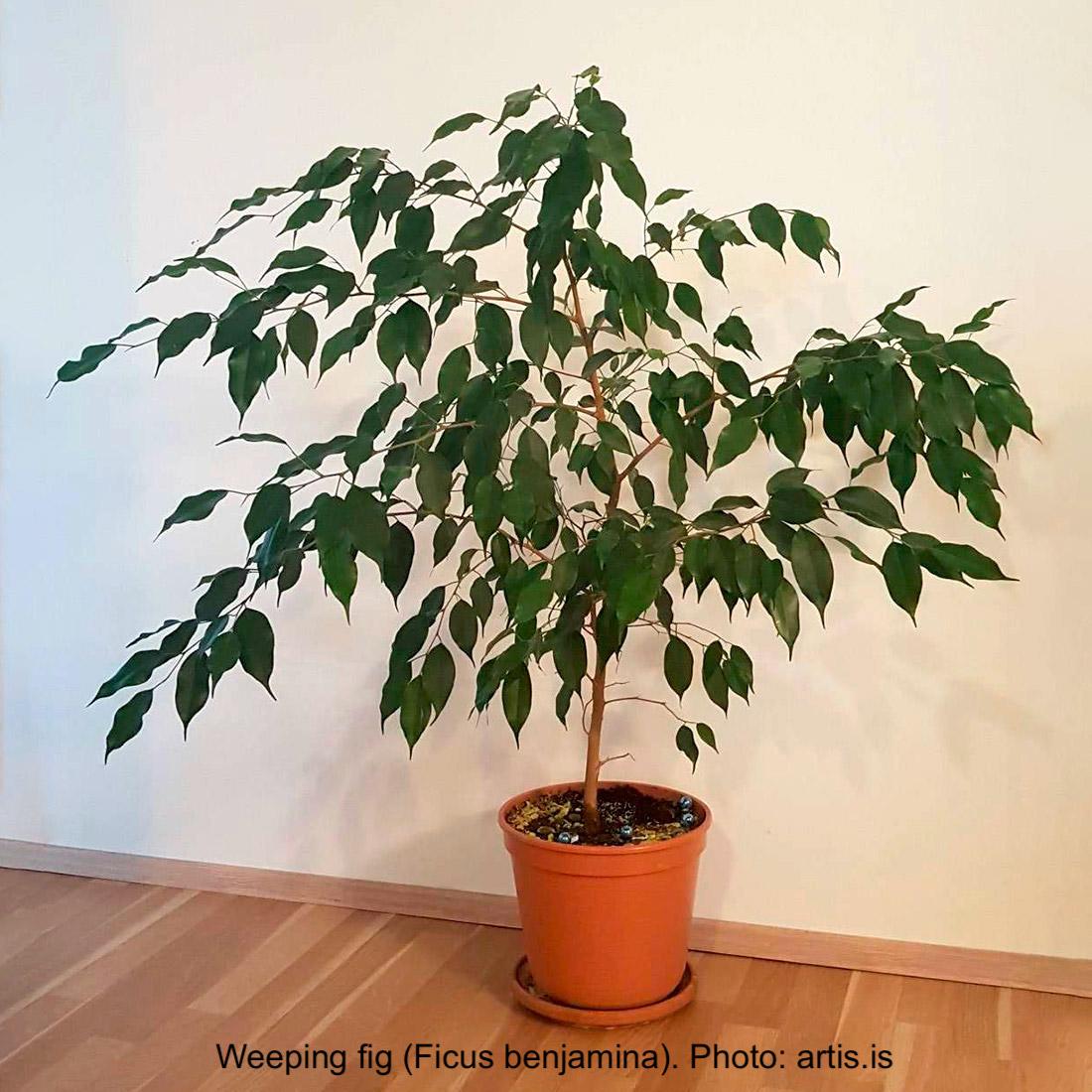 Ficus benjamina in a pot