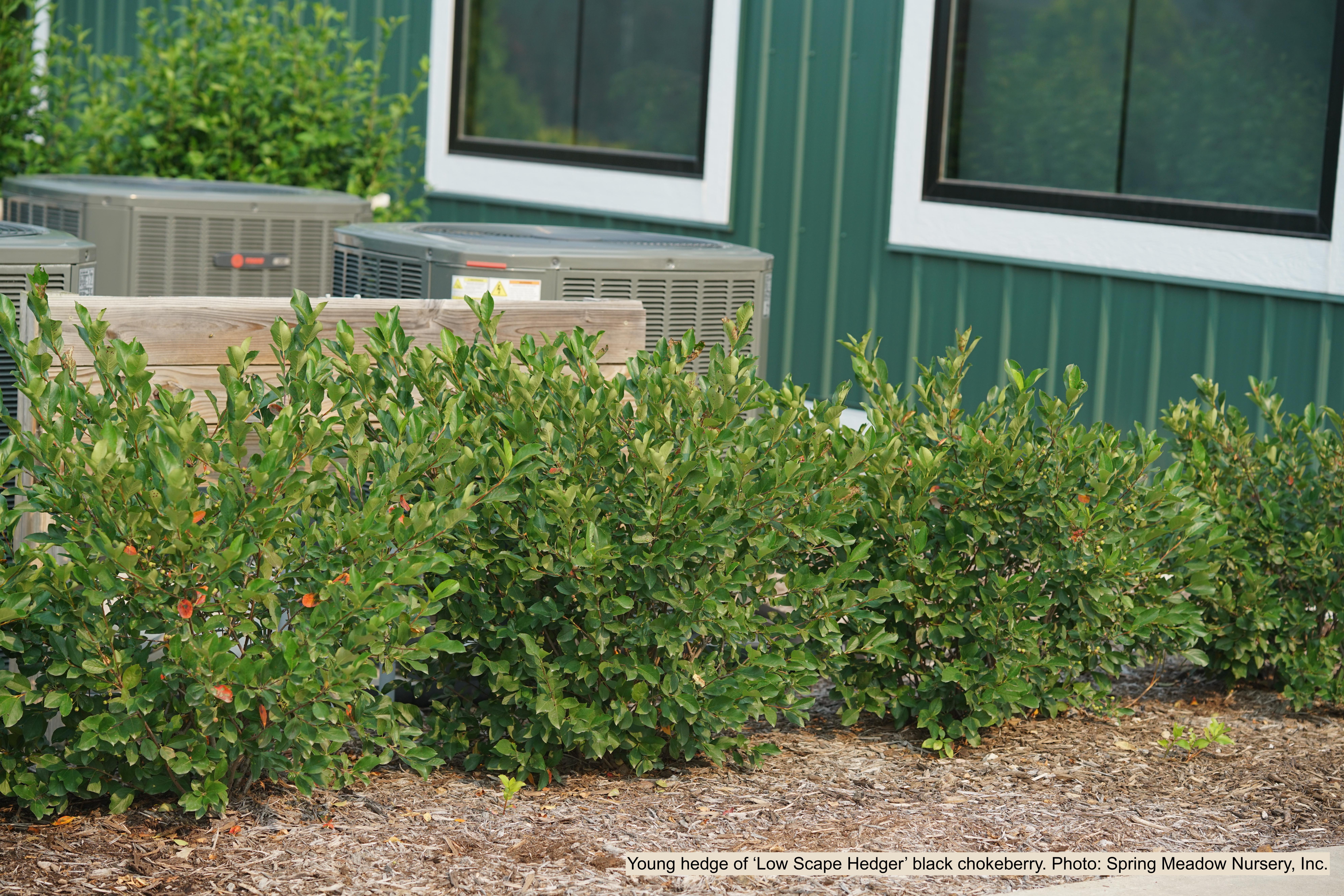 Hedge of black chokeberry.