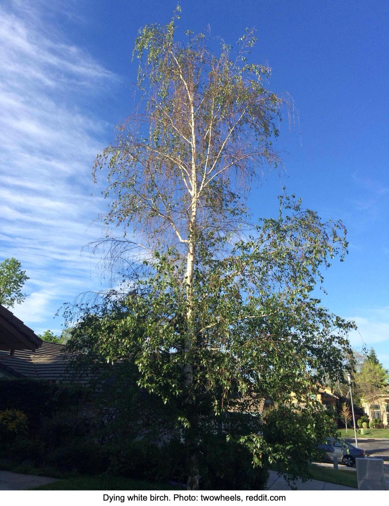Dying white birch